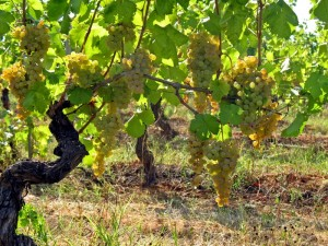 grape wine vines cortese di gavi