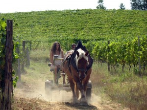wine-grapes-vines-vineyards-making-wine