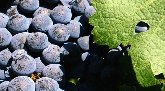 Wine Basics — Grape Varietals 101: Cabernet Franc | Just Wine