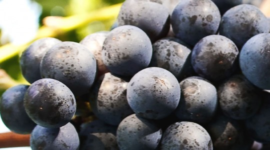 Wine Basics — Grape Varietals 101: Cabernet Sauvignon | Just Wine