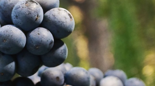 Wine Basics — Grape Varietals 301: Cabernet Sauvignon | Just Wine