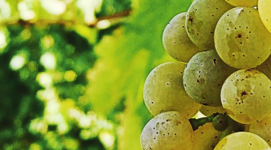 Wine Basics — Grape Varietals 101: Chardonnay | Just Wine