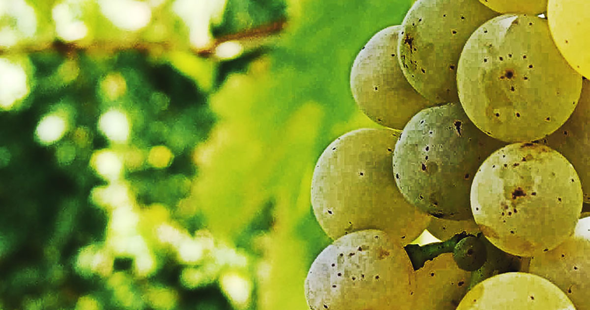 Chardonnay Grapes  | Just Wine