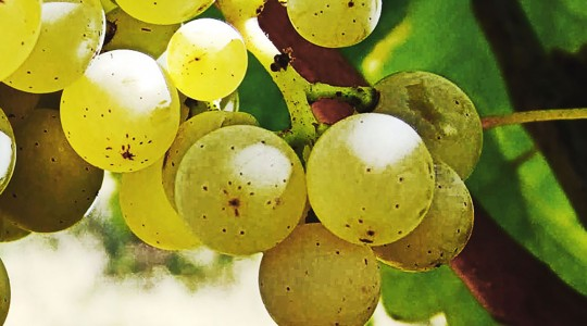Wine Basics — Grape Varietals 301: Chardonnay | Just Wine
