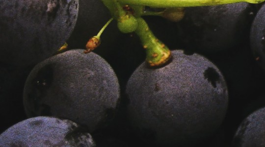 Wine Basics — Grape Varietals 101: Gamay Noir | Just Wine