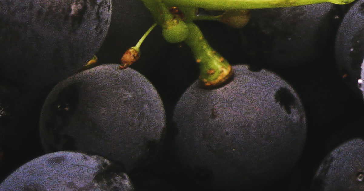 Wine Grapes Gamay  | Just Wine