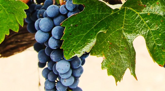 Wine Basics — Grape Varietals 101: Grenache (aka: Garnacha) | Just Wine