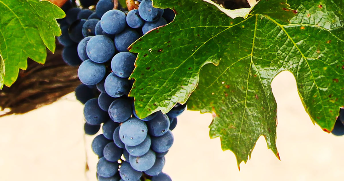 Wine Grapes Granche  | Just Wine