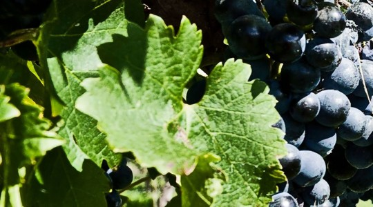 Wine Basics — Grape Varietals 101: Merlot | Just Wine