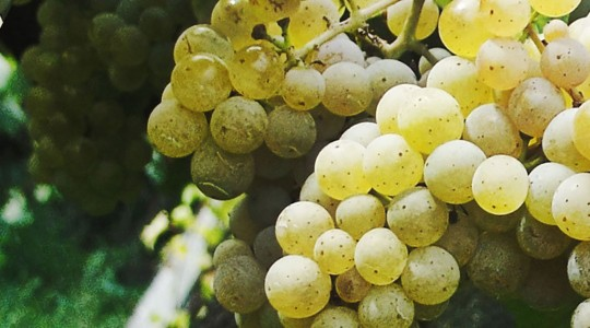 Wine Basics — Grape Varietals 101: Muscat Ottonel | Just Wine