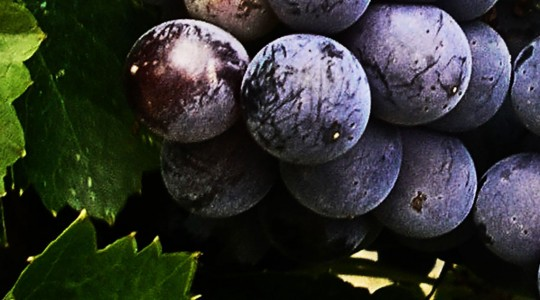 Wine Basics — Grape Varietals 101: Petite Sirah (aka: Durif) | Just Wine