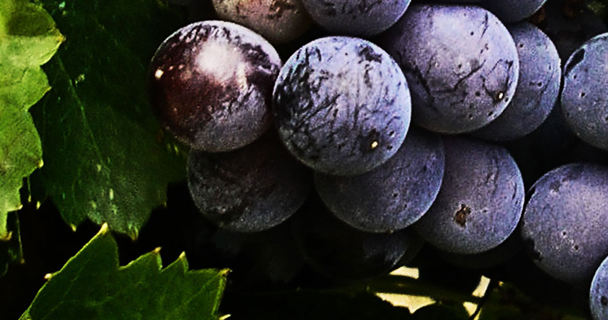 Petite Sirah Grapes  | Just Wine