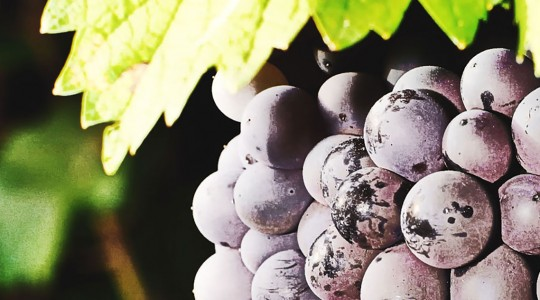 Wine Basics — Grape Varietals 101: Pinot Gris (Pinot Grigio) | Just Wine