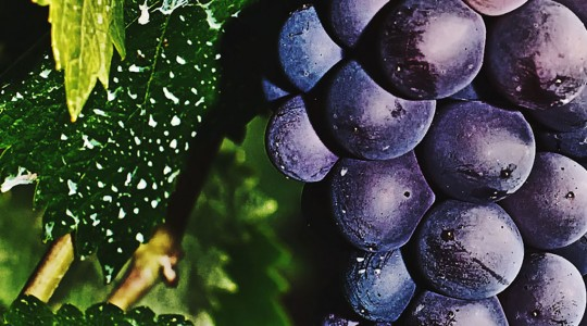 What is Pinot Noir? Wine Varietal Facts – From Flavour to Grape Variety | Just Wine