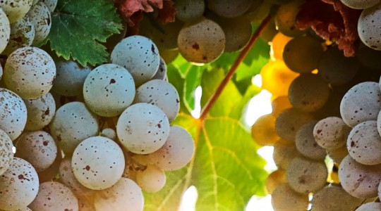 Wine Basics — Grape Varietals 301: Riesling | Just Wine