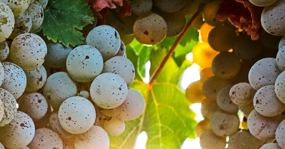 Riesling Grapes  | Just Wine