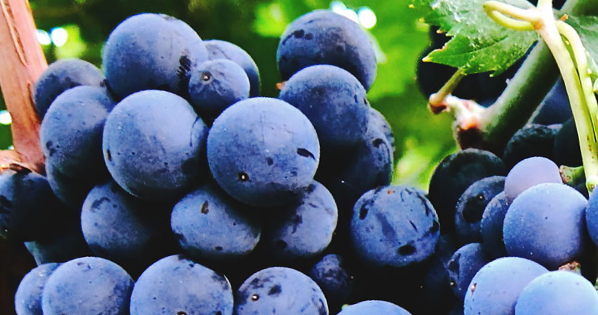 Sangiovese Grapes  | Just Wine