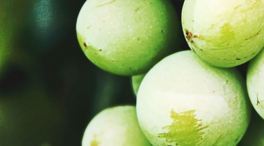 What is Sauvignon Blanc? Wine Varietal Facts – From Flavour to Grape Variety | Just Wine