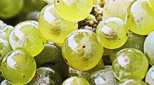 Wine Basics — Grape Varietals 101: Sémillon | Just Wine