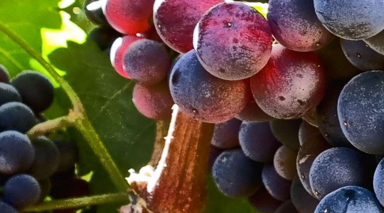 Wine Basics — Grape Varietals 101: Syrah (aka: Shiraz) | Just Wine