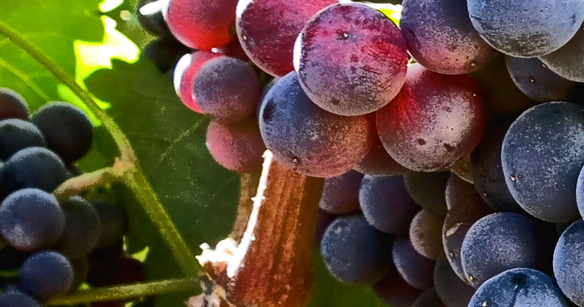 Shiraz (Syrah)  Grapes  | Just Wine
