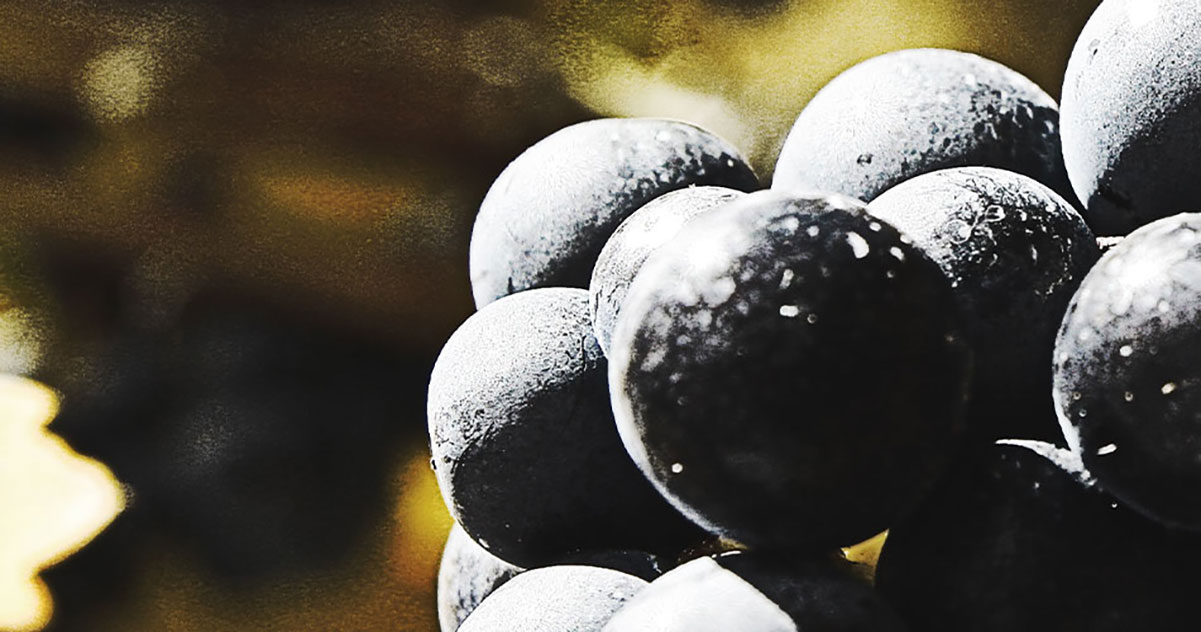 Tempranillo Red Wine Grapes  | Just Wine