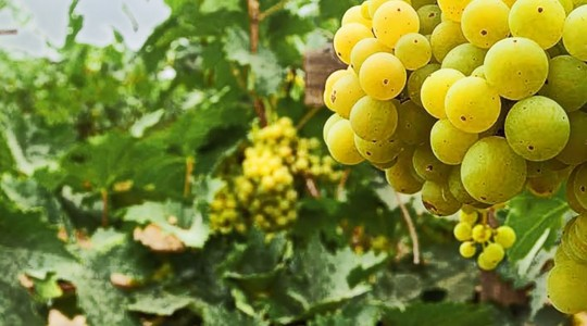 Wine Basics — Grape Varietals 101: Viognier | Just Wine