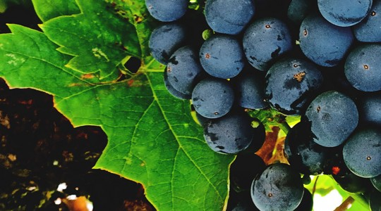 Wine Basics — Grape Varietals 101: Zinfandel (aka: Primitivo) | Just Wine