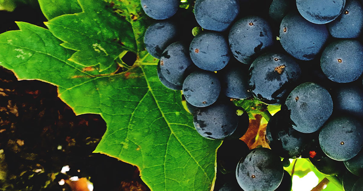 Wine Basics — Grape Varietals 101: Zinfandel (aka: Primitivo)