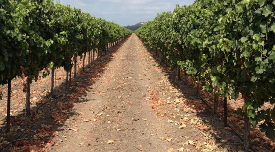 Good for the Soul and the Environment: Tishbi Winery, Israel | Just Wine