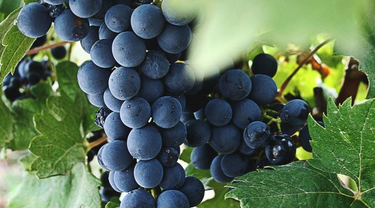 Wine Basics — Grape Varietals 301: Argaman | Just Wine