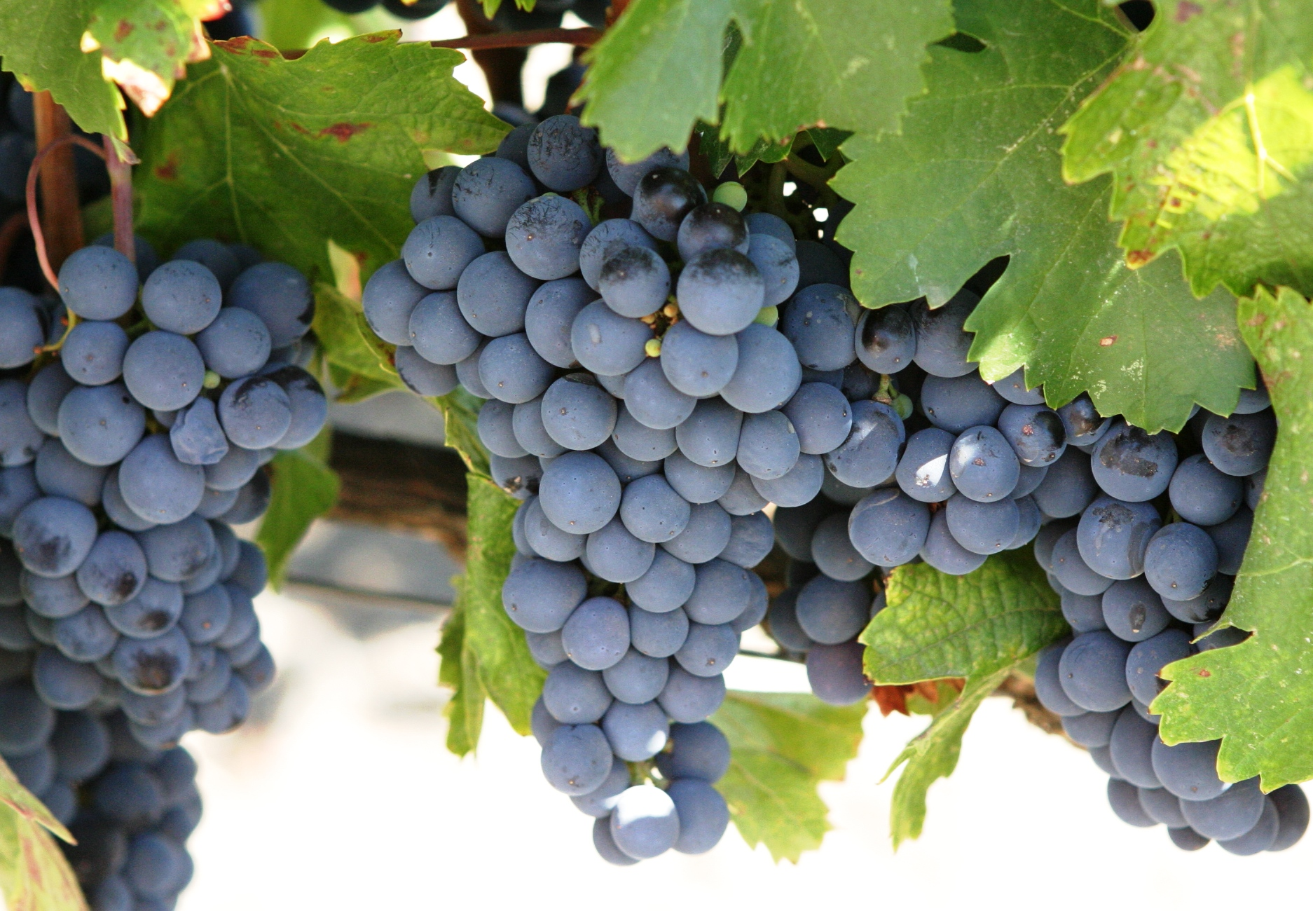 A Year of Grapes and Wine: Cabernet Sauvignon |