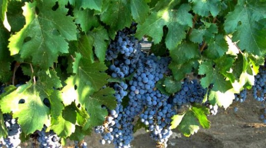 Grapes and Wine: Cabernet Franc   Just Wine