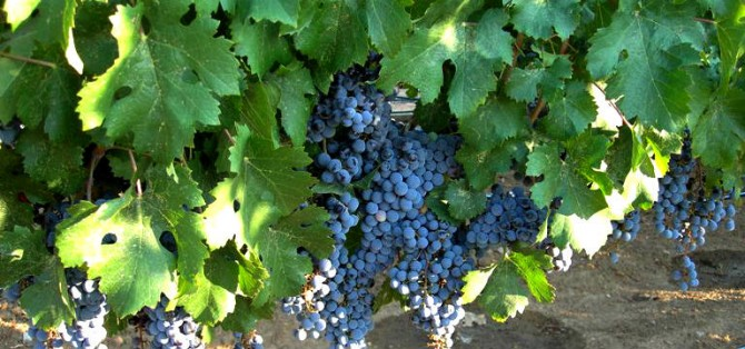 Grapes and Wine: Cabernet Franc |