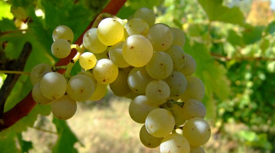 A Year of Grapes and Wine: Sauvignon Blanc | Just Wine