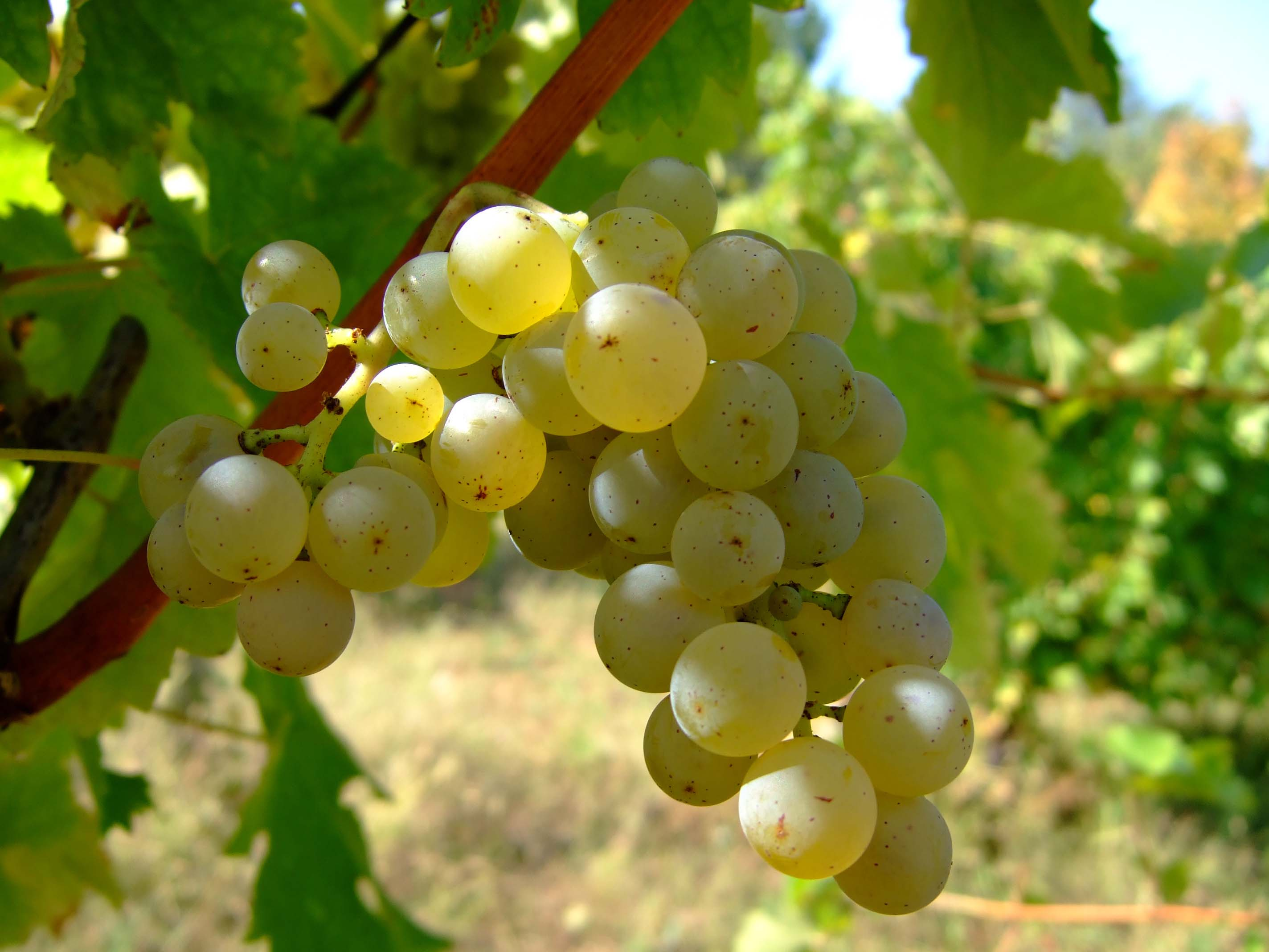 A Year of Grapes and Wine: Sauvignon Blanc |