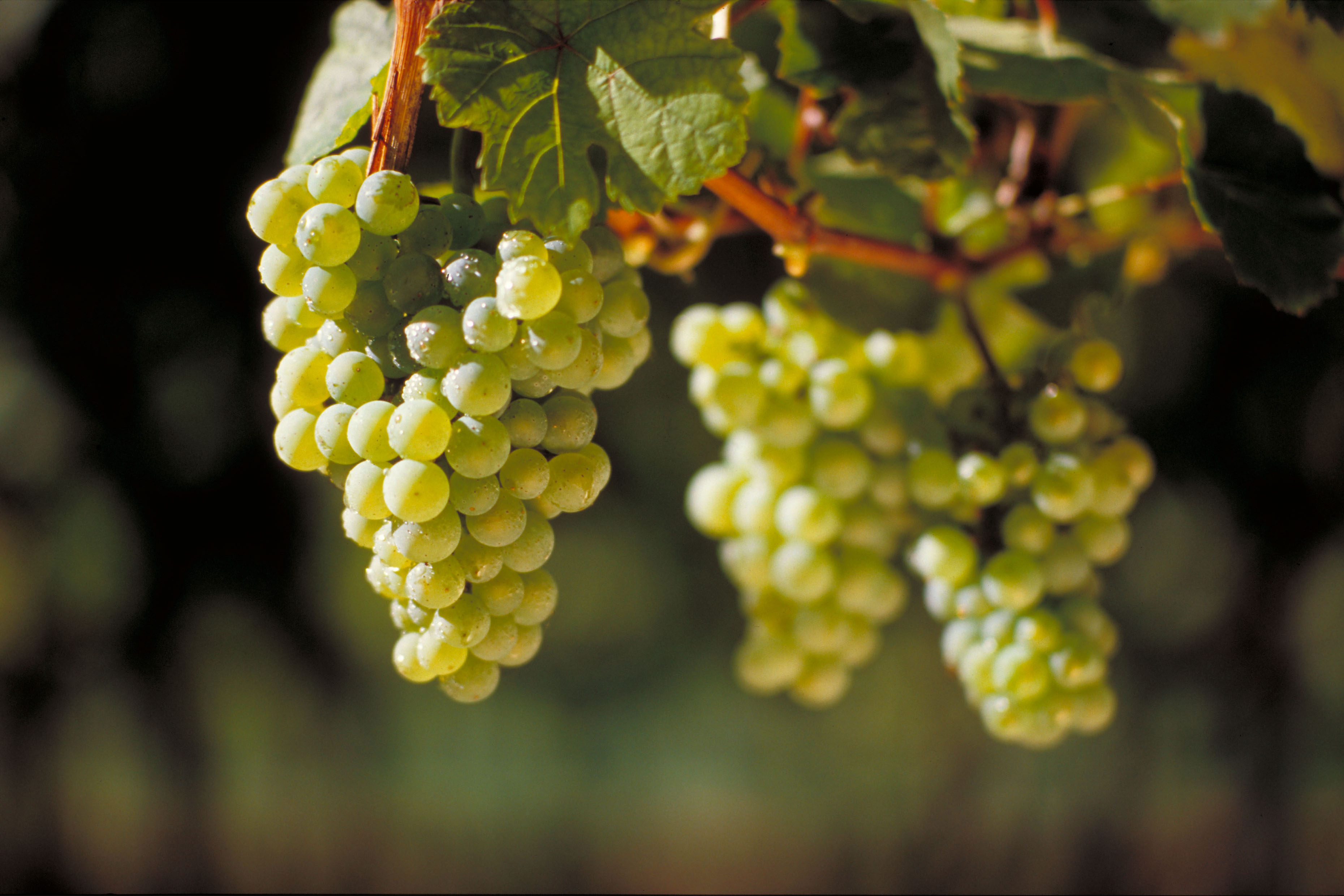 A Year of Grapes and Wine: Riesling |