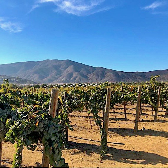 vineyard in Mexico, guadalupe, Mexican wine
