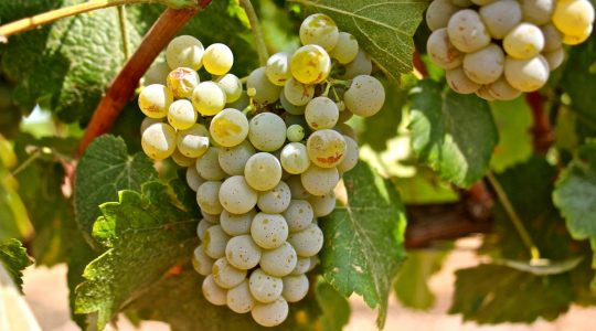 Wine Basics — Grape Varietals 101: Albariño (aka: Alvarinho) | Just Wine