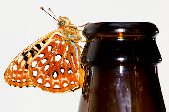 silverspot butterfly on beer bottle, Pelican brewery IPA