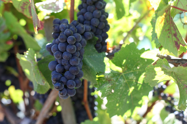 usa-california-sonoma-county-kutch-wines-sonoma-coast-pinot-noir-fruit-grapes