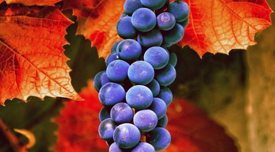 Wine Basics — Grape Varietals 101: Carmenere | Just Wine