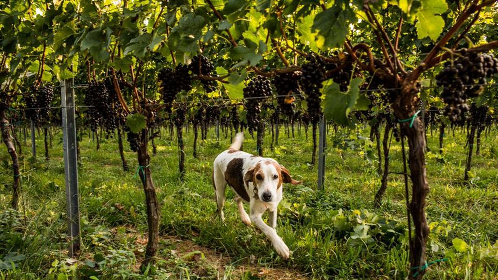 early_mountain_vineyard_dog.0.0