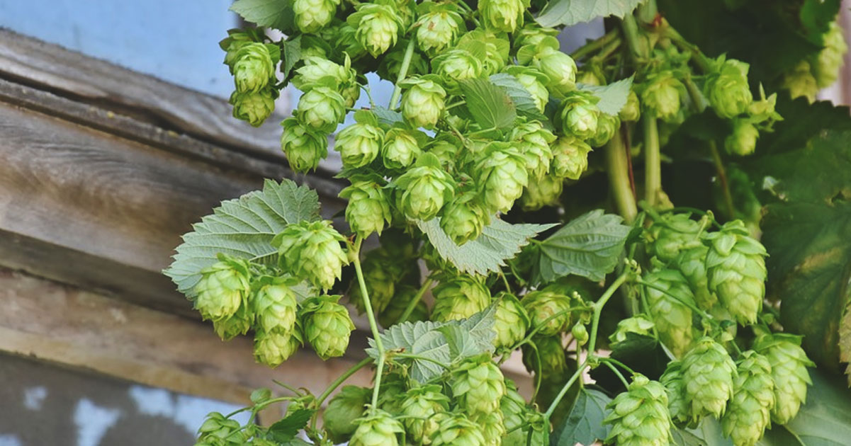 Beer Styles: The Ingredients (Part Two: Hops)