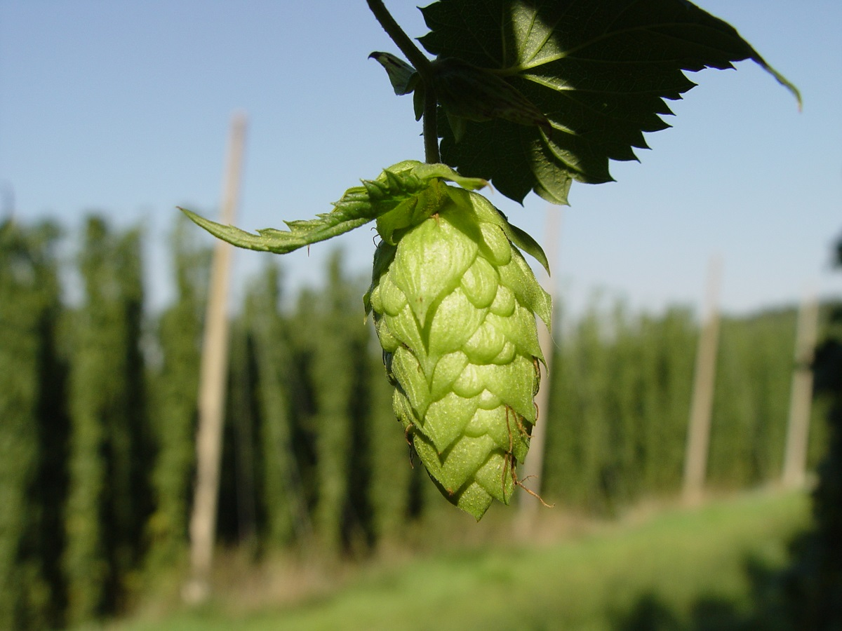 What is Wet-Hopped Beer?