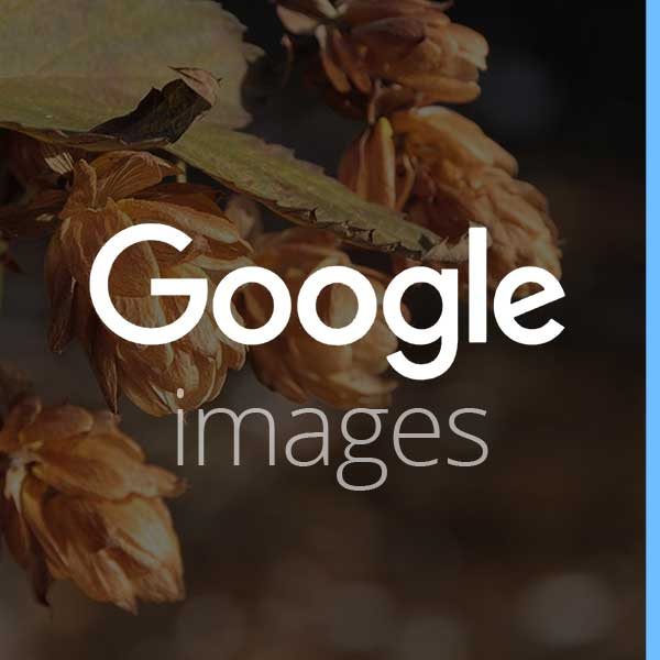 google-images-creative-commons-commerical-use-free-photos-hops-humulus-lupulus-beer