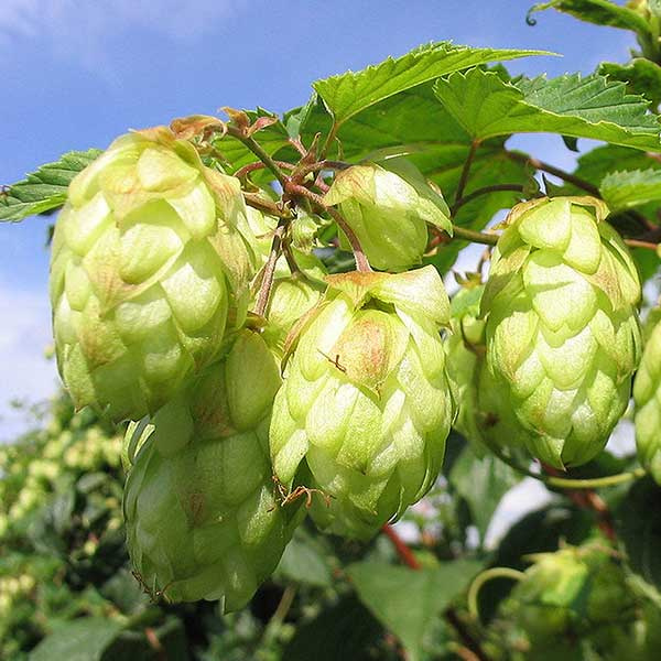 hops-flower-free-stock-photo-humulus-lupulus