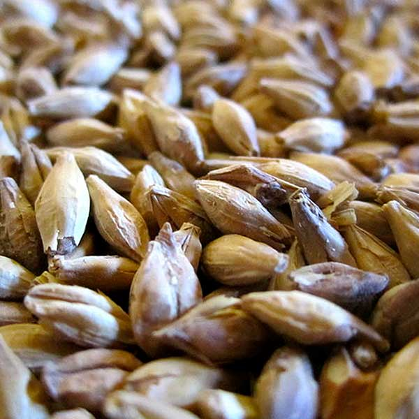 malt-barley-grain-beer-brewing-free-image-social-media