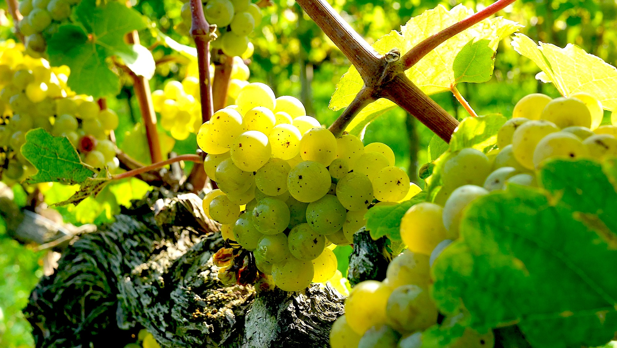 Image Source: pixabay. Riesling Grapes.  | Just Wine