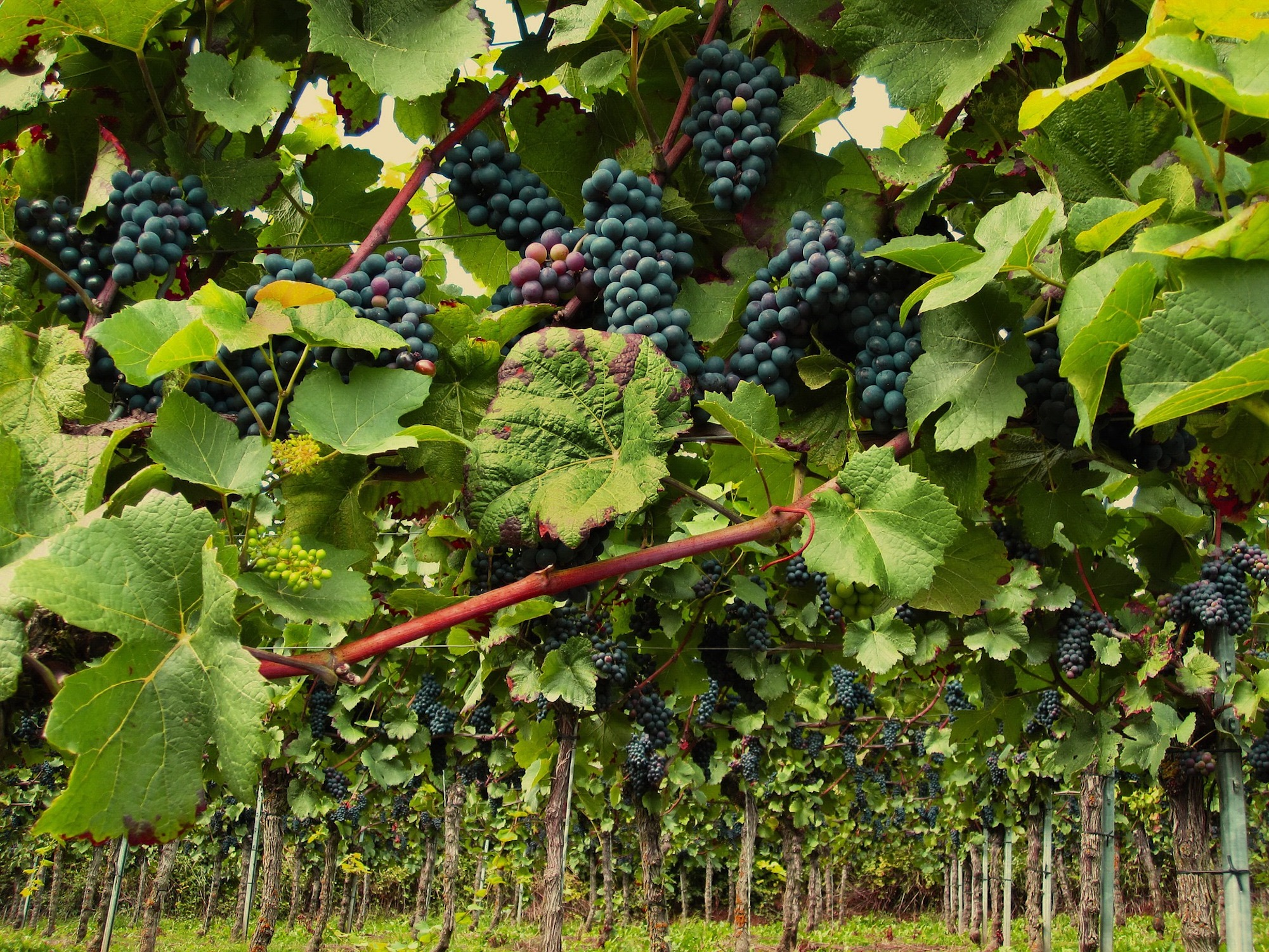Pinot Noir Grapes. Image Source: Pixabay  | Just Wine